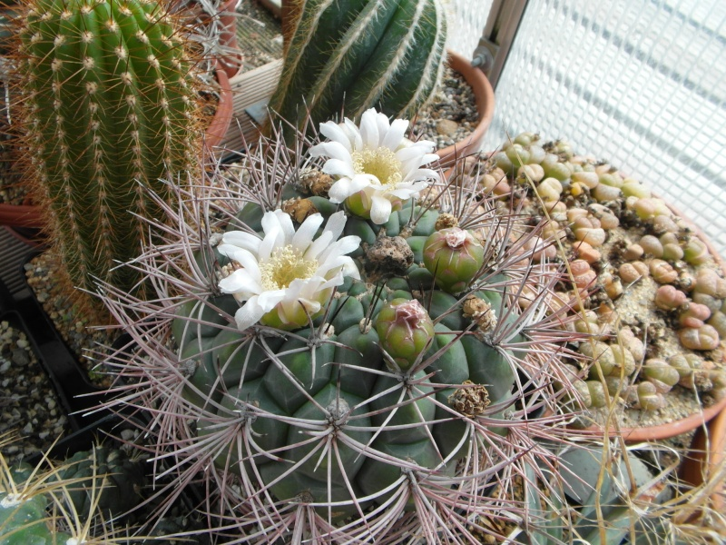 Cacti and Sukkulent in Köln, every day new flowers in the greenhouse Part 62 Bild_747