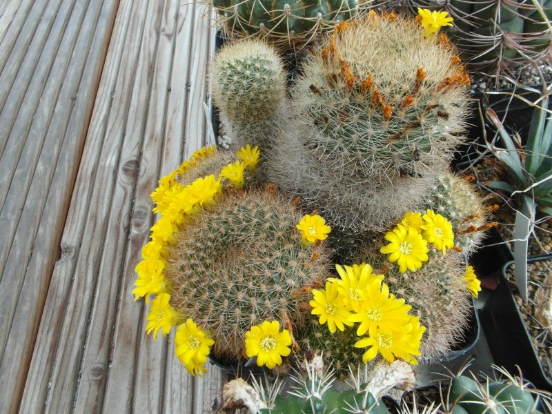 Cacti and Sukkulent in Köln, every day new flowers in the greenhouse Part 62 Bild_749