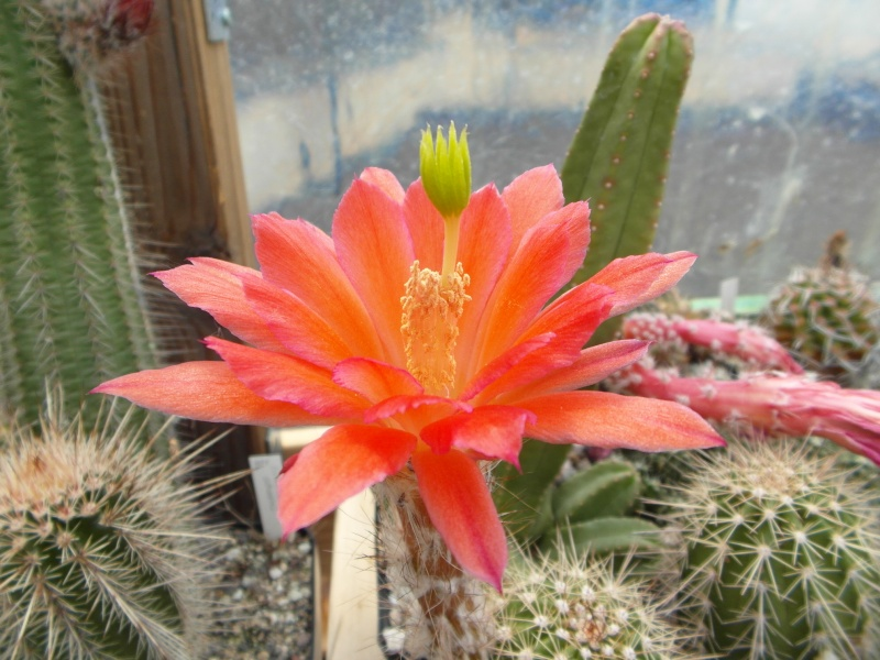 Cacti and Sukkulent in Köln, every day new flowers in the greenhouse Part 62 Bild_750