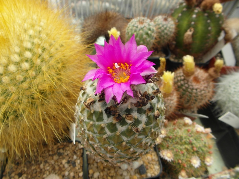 Cacti and Sukkulent in Köln, every day new flowers in the greenhouse Part 62 Bild_751
