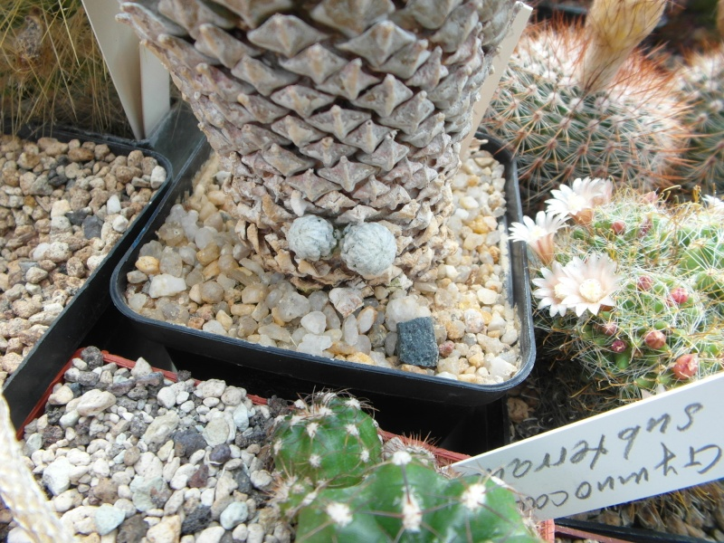 Cacti and Sukkulent in Köln, every day new flowers in the greenhouse Part 62 Bild_752