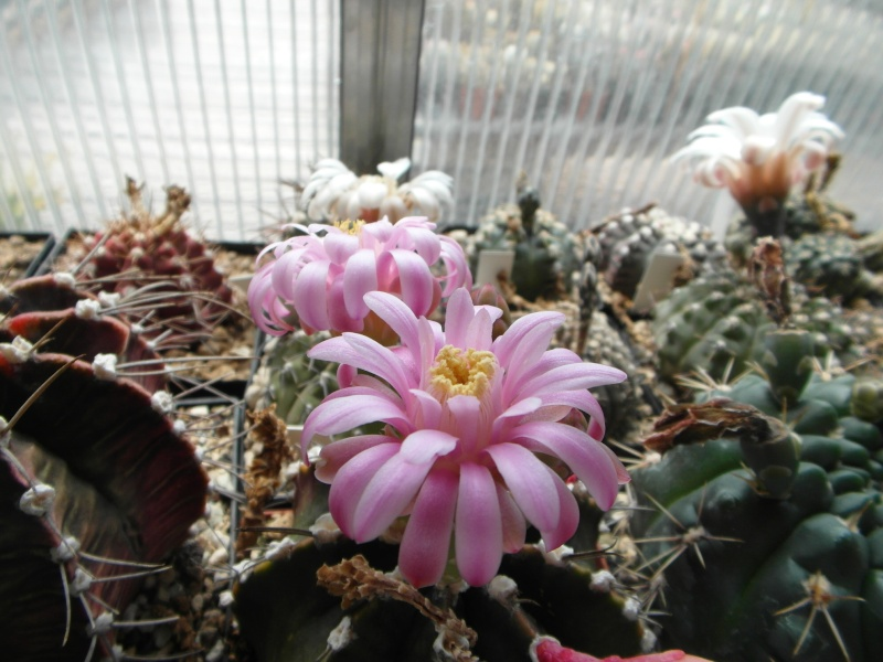 Cacti and Sukkulent in Köln, every day new flowers in the greenhouse Part 62 Bild_754