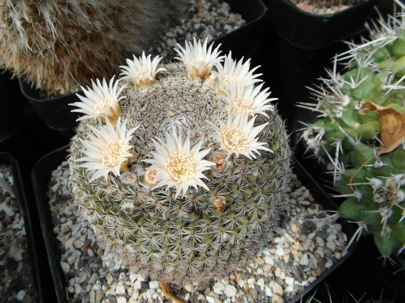 Cacti and Sukkulent in Köln, every day new flowers in the greenhouse Part 62 Bild_757