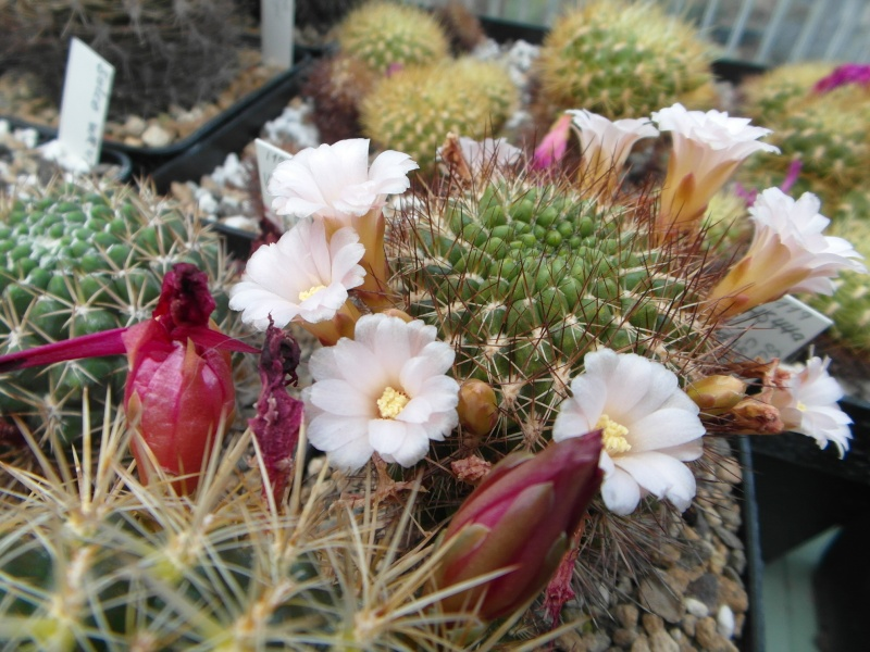 Cacti and Sukkulent in Köln, every day new flowers in the greenhouse Part 62 Bild_759