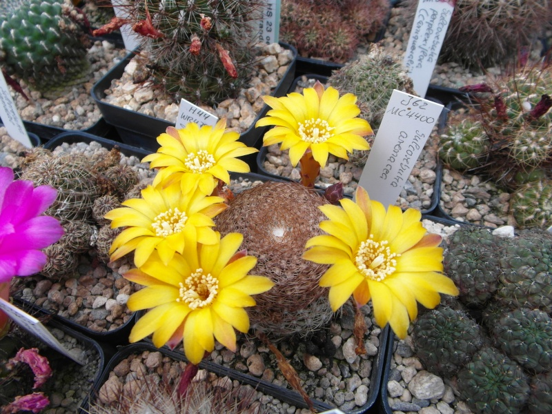 Cacti and Sukkulent in Köln, every day new flowers in the greenhouse Part 62 Bild_761
