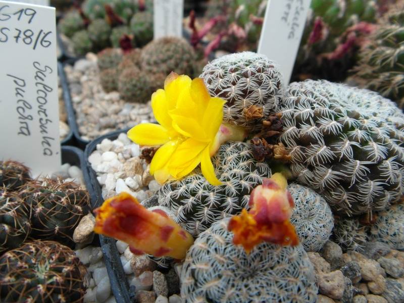 Cacti and Sukkulent in Köln, every day new flowers in the greenhouse Part 62 Bild_763