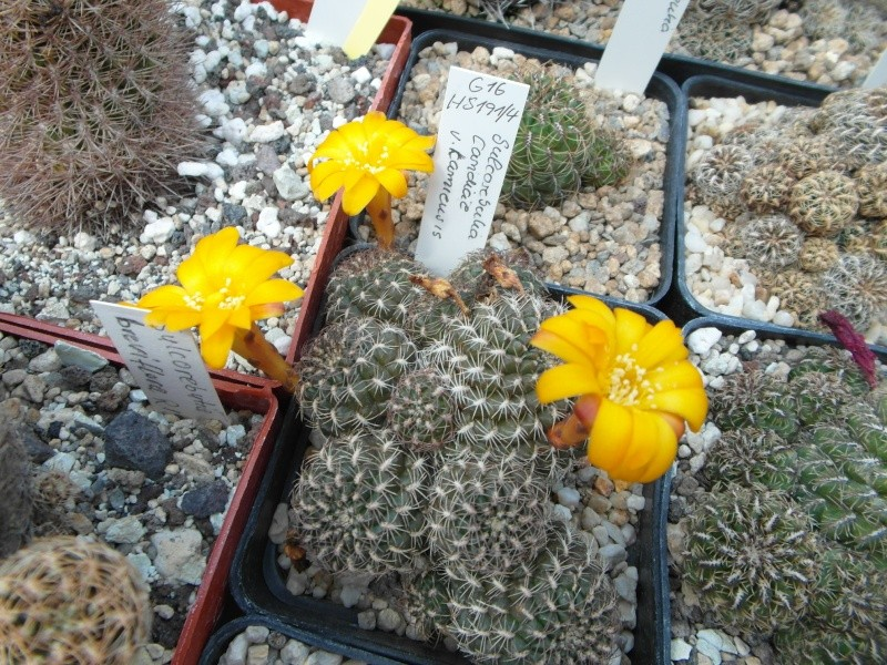 Cacti and Sukkulent in Köln, every day new flowers in the greenhouse Part 62 Bild_764