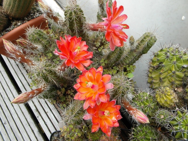 Cacti and Sukkulent in Köln, every day new flowers in the greenhouse Part 63 Bild_786