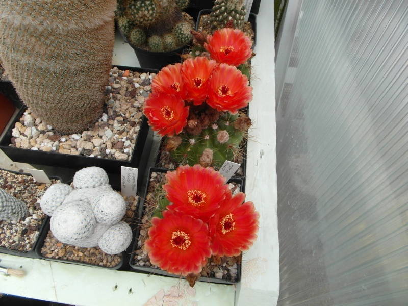 Cacti and Sukkulent in Köln, every day new flowers in the greenhouse Part 63 Bild_787