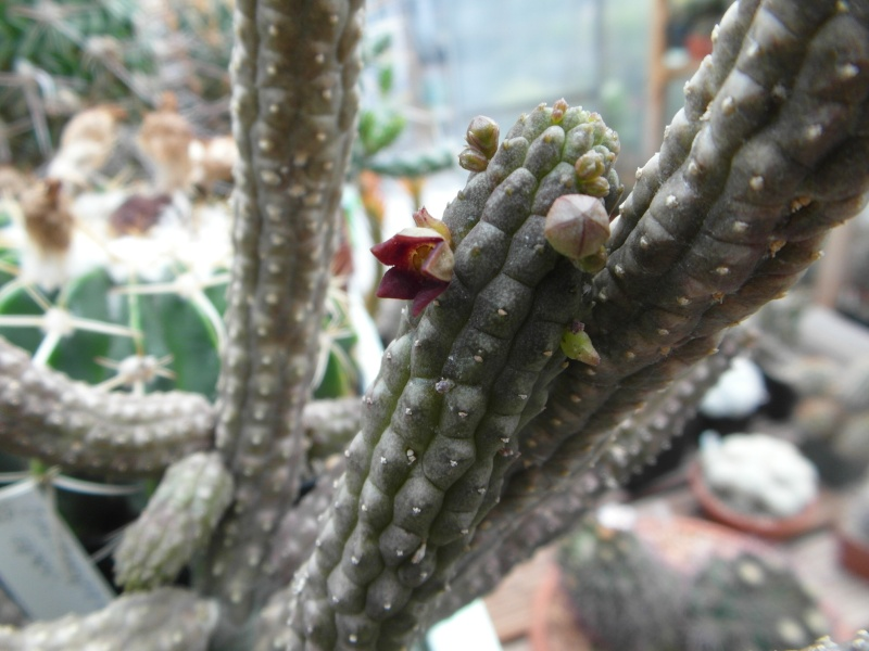 Cacti and Sukkulent in Köln, every day new flowers in the greenhouse Part 63 Bild_789