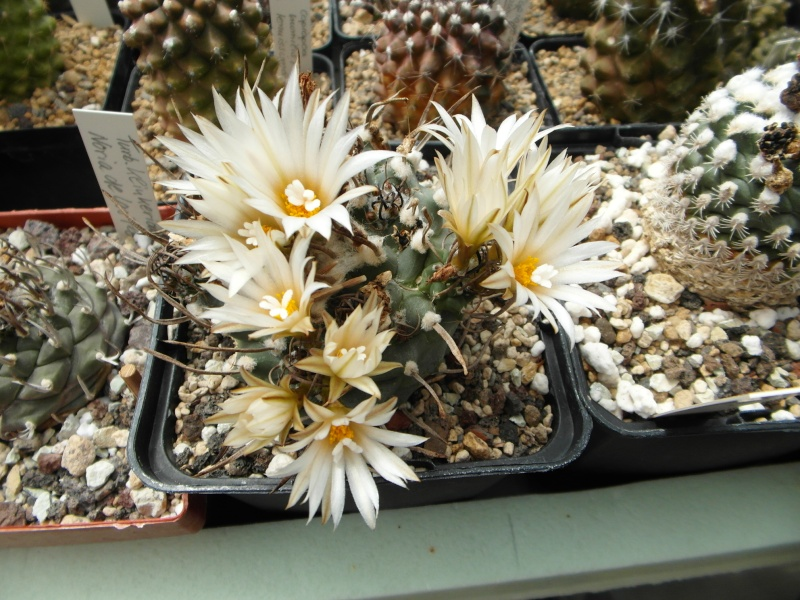 Cacti and Sukkulent in Köln, every day new flowers in the greenhouse Part 63 Bild_793