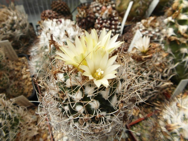 Cacti and Sukkulent in Köln, every day new flowers in the greenhouse Part 63 Bild_796