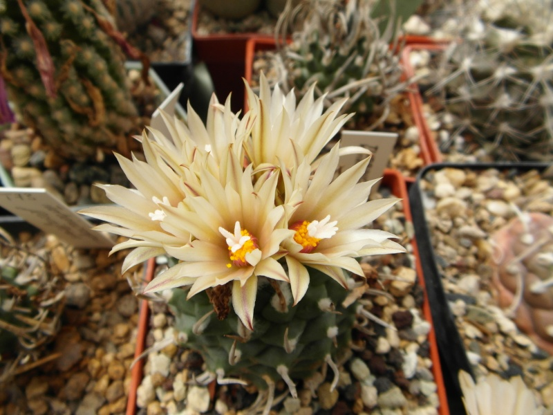 Cacti and Sukkulent in Köln, every day new flowers in the greenhouse Part 63 Bild_802