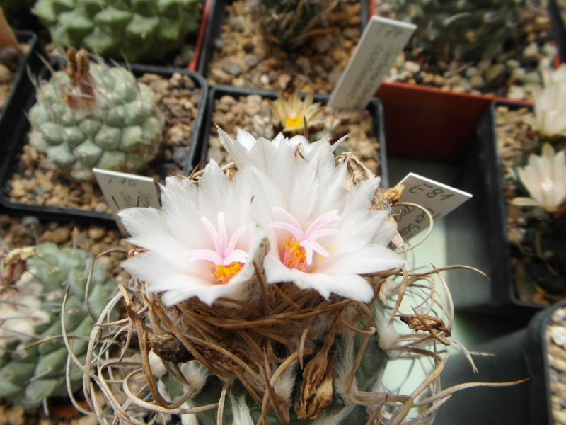 Cacti and Sukkulent in Köln, every day new flowers in the greenhouse Part 63 Bild_805
