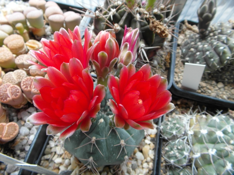 Cacti and Sukkulent in Köln, every day new flowers in the greenhouse Part 63 Bild_810