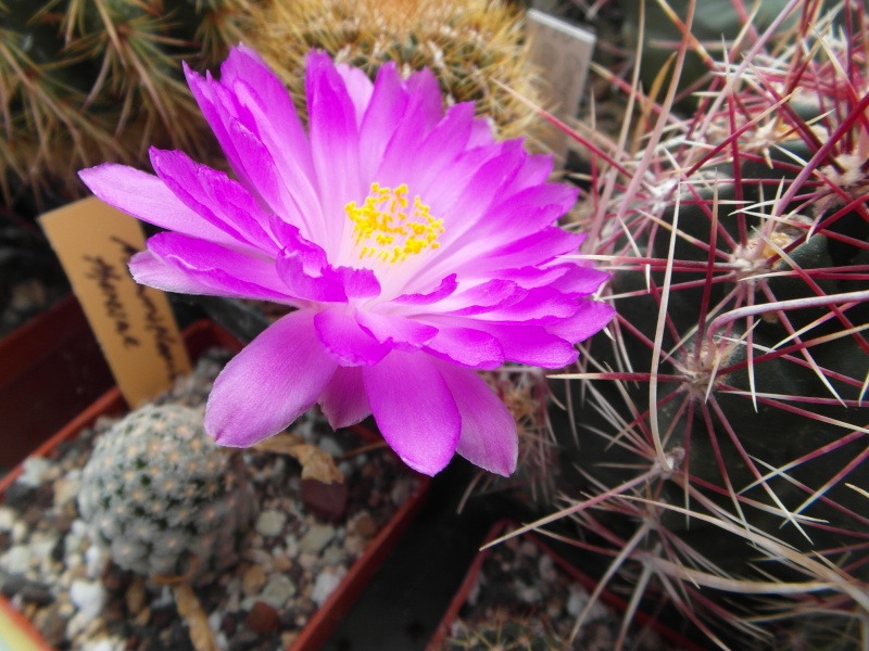 Cacti and Sukkulent in Köln, every day new flowers in the greenhouse Part 63 Bild_814