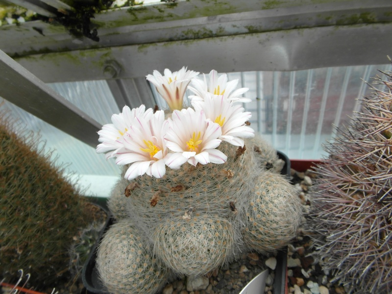 Cacti and Sukkulent in Köln, every day new flowers in the greenhouse Part 63 Bild_815