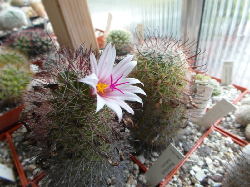 Cacti and Sukkulent in Köln, every day new flowers in the greenhouse Part 63 Bild_818