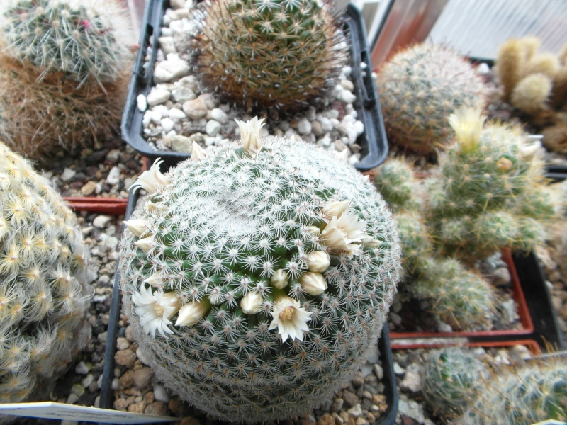 Cacti and Sukkulent in Köln, every day new flowers in the greenhouse Part 63 Bild_819