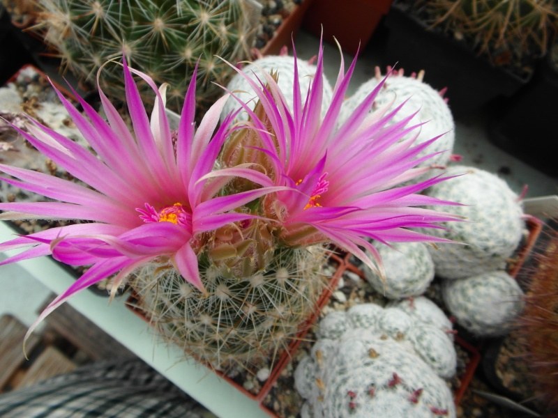 Cacti and Sukkulent in Köln, every day new flowers in the greenhouse Part 63 Bild_820