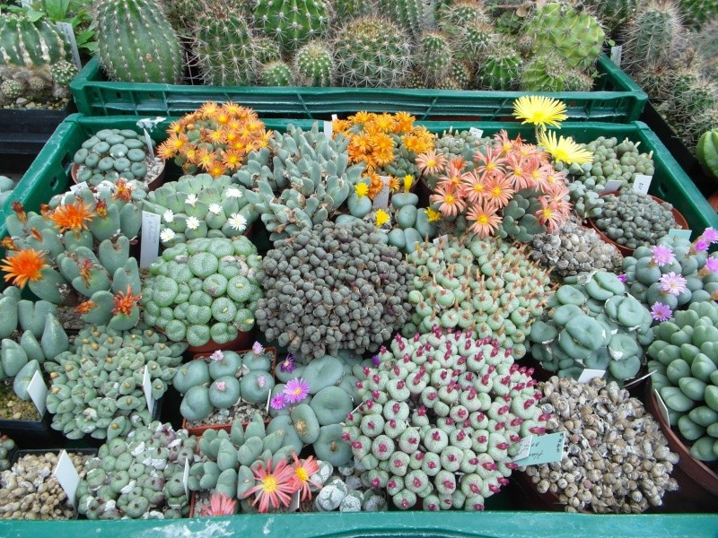 Cacti and Sukkulent in Köln, every day new flowers in the greenhouse Part 62 Bild_823
