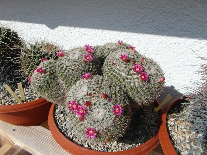 Cacti and Sukkulent in Köln, every day new flowers in the greenhouse Part 63 Bild_827
