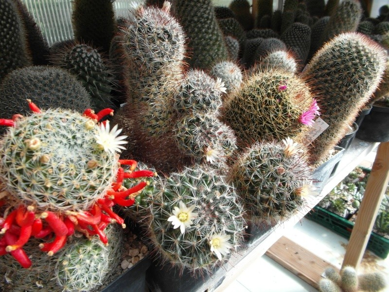 Cacti and Sukkulent in Köln, every day new flowers in the greenhouse Part 63 Bild_835