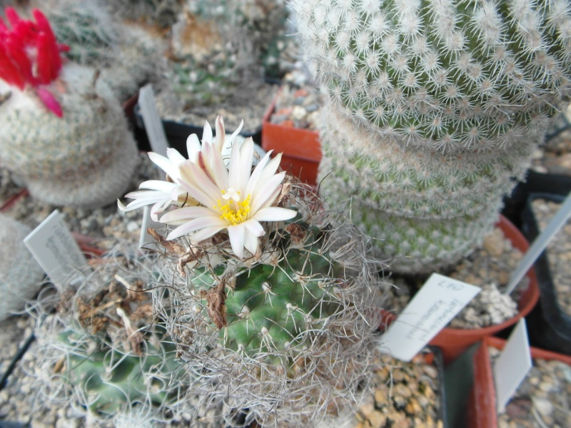 Cacti and Sukkulent in Köln, every day new flowers in the greenhouse Part 63 Bild_839