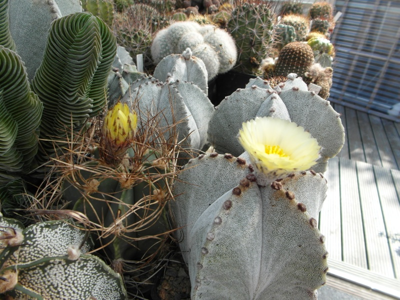 Cacti and Sukkulent in Köln, every day new flowers in the greenhouse Part 63 Bild_852