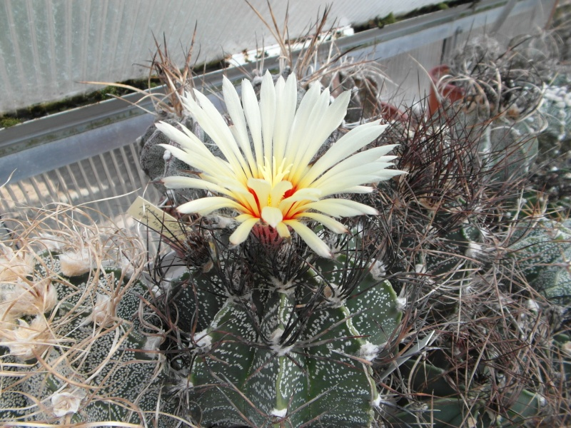 Cacti and Sukkulent in Köln, every day new flowers in the greenhouse Part 63 Bild_855