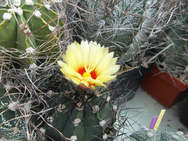 Cacti and Sukkulent in Köln, every day new flowers in the greenhouse Part 63 Bild_858