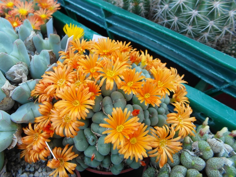 Cacti and Sukkulent in Köln, every day new flowers in the greenhouse Part 63 Bild_871