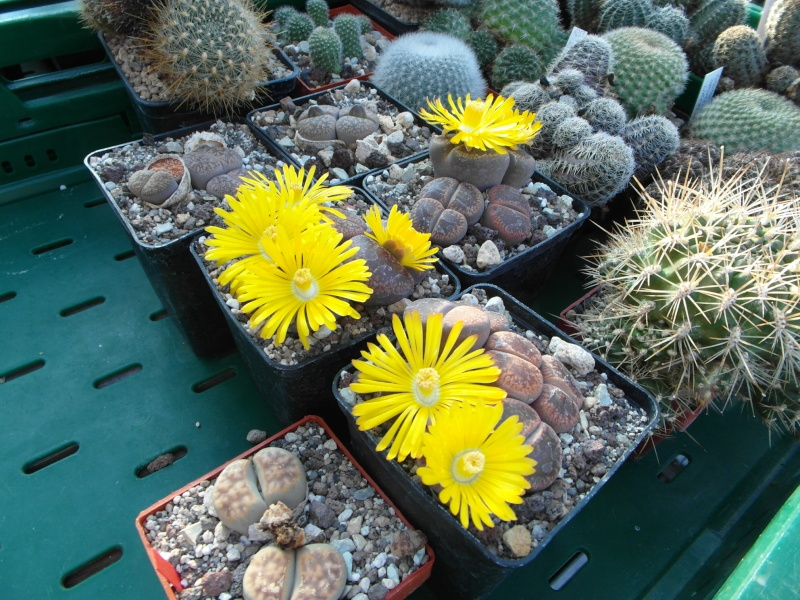 Cacti and Sukkulent in Köln, every day new flowers in the greenhouse Part 63 Bild_875