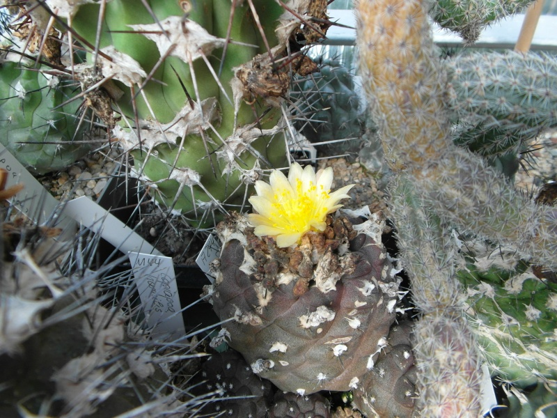 Cacti and Sukkulent in Köln, every day new flowers in the greenhouse Part 63 Bild_881