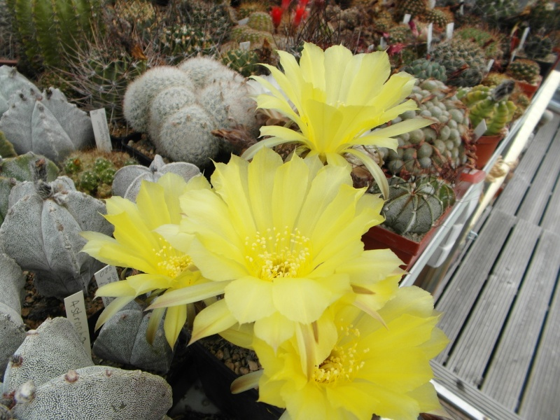 Cacti and Sukkulent in Köln, every day new flowers in the greenhouse Part 63 Bild_887