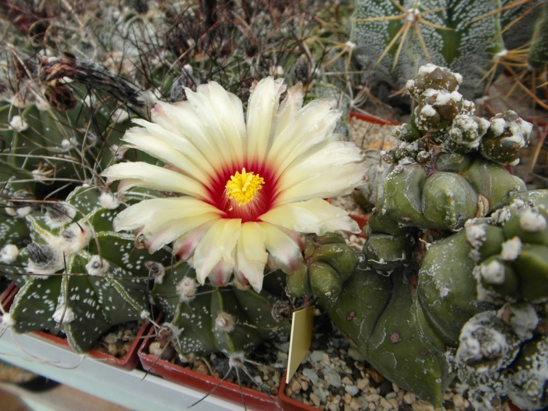 Cacti and Sukkulent in Köln, every day new flowers in the greenhouse Part 63 Bild_890