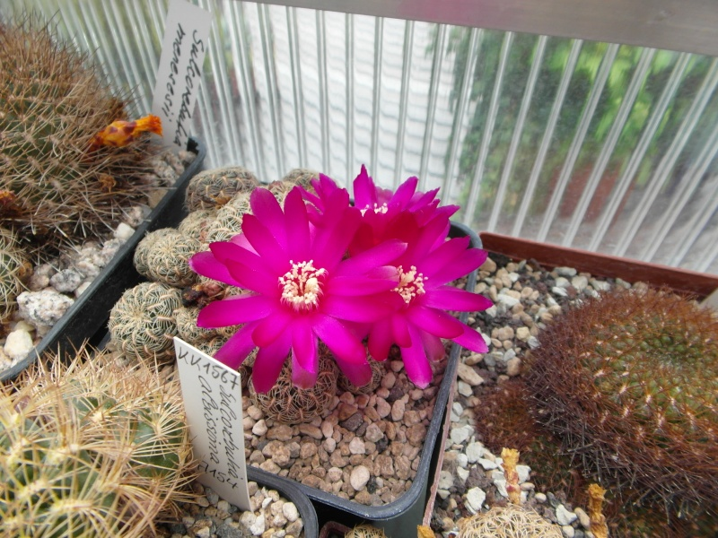 Cacti and Sukkulent in Köln, every day new flowers in the greenhouse Part 63 Bild_895