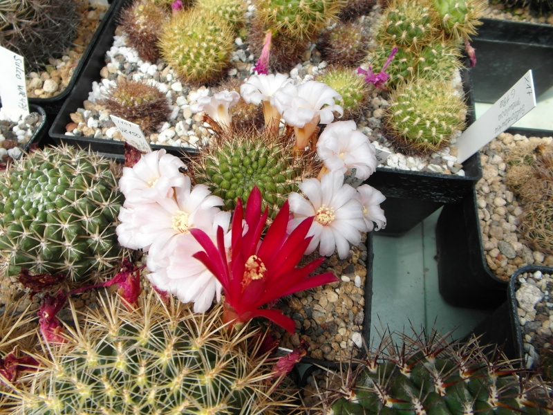 Cacti and Sukkulent in Köln, every day new flowers in the greenhouse Part 63 Bild_896
