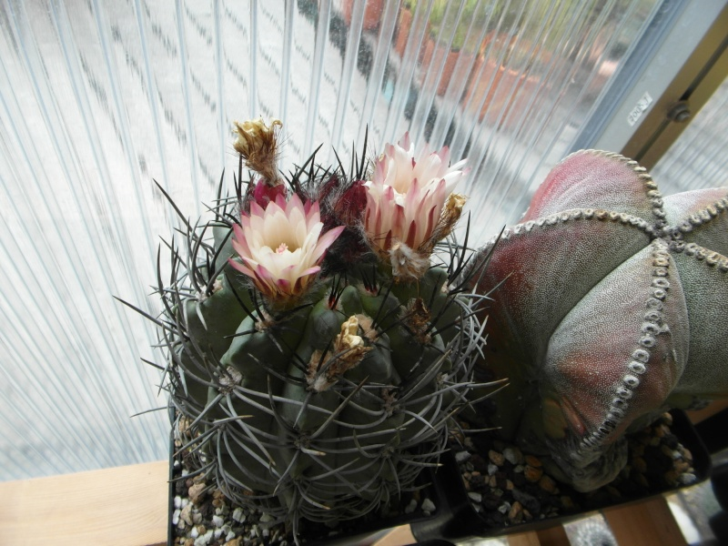Cacti and Sukkulent in Köln, every day new flowers in the greenhouse Part 63 Bild_904