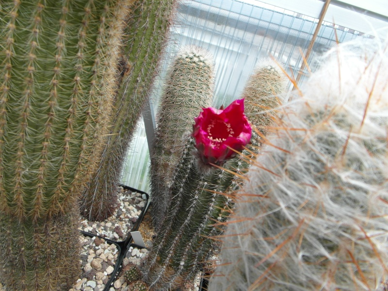 Cacti and Sukkulent in Köln, every day new flowers in the greenhouse Part 63 Bild_909