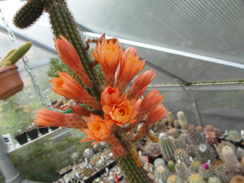 Cacti and Sukkulent in Köln, every day new flowers in the greenhouse Part 63 Bild_925