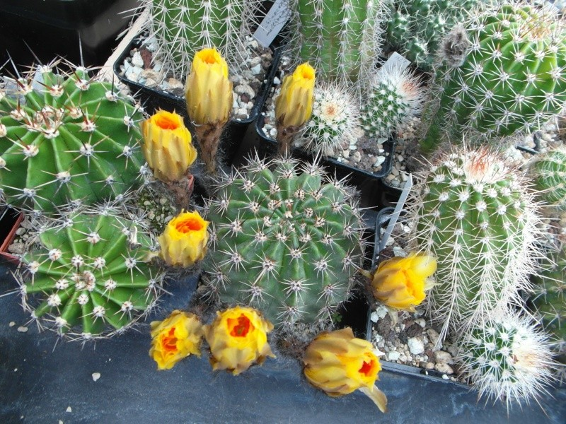Cacti and Sukkulent in Köln, every day new flowers in the greenhouse Part 63 Bild_930
