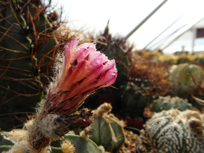Cacti and Sukkulent in Köln, every day new flowers in the greenhouse Part 63 Bild_940