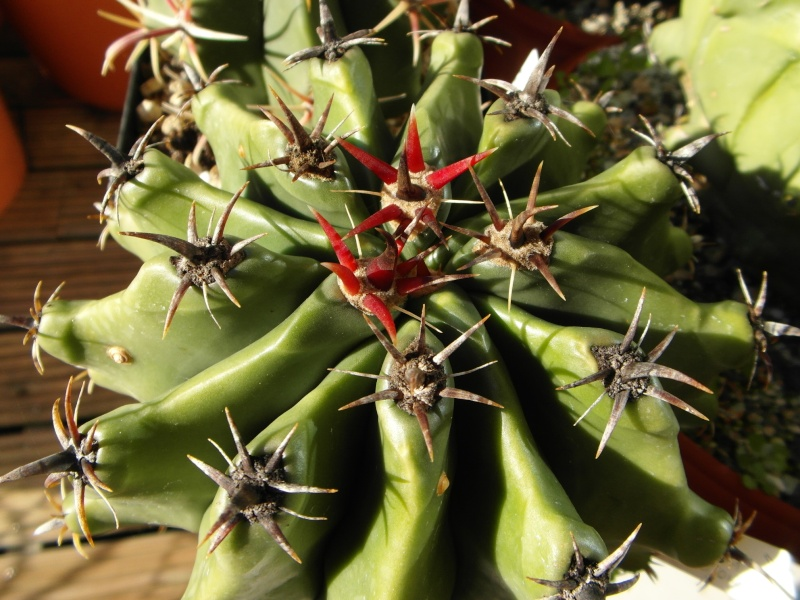 Cacti and Sukkulent in Köln, every day new flowers in the greenhouse Part 63 Bild_948