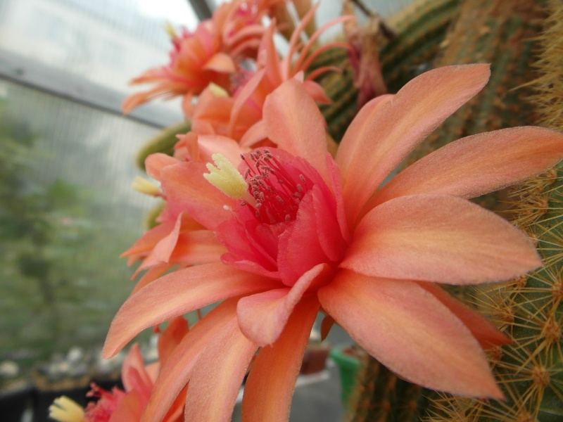Cacti and Sukkulent in Köln, every day new flowers in the greenhouse Part 64 Bild_958
