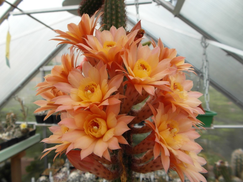 Cacti and Sukkulent in Köln, every day new flowers in the greenhouse Part 64 Bild_959