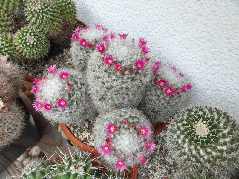 Cacti and Sukkulent in Köln, every day new flowers in the greenhouse Part 64 Bild_961