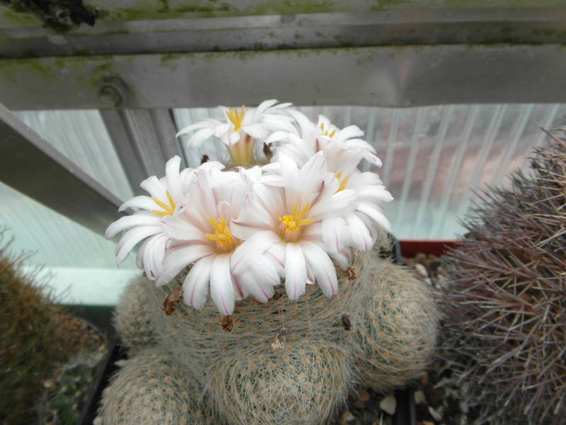 Cacti and Sukkulent in Köln, every day new flowers in the greenhouse Part 64 Bild_962