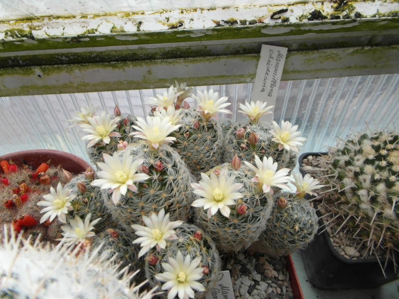 Cacti and Sukkulent in Köln, every day new flowers in the greenhouse Part 64 Bild_963