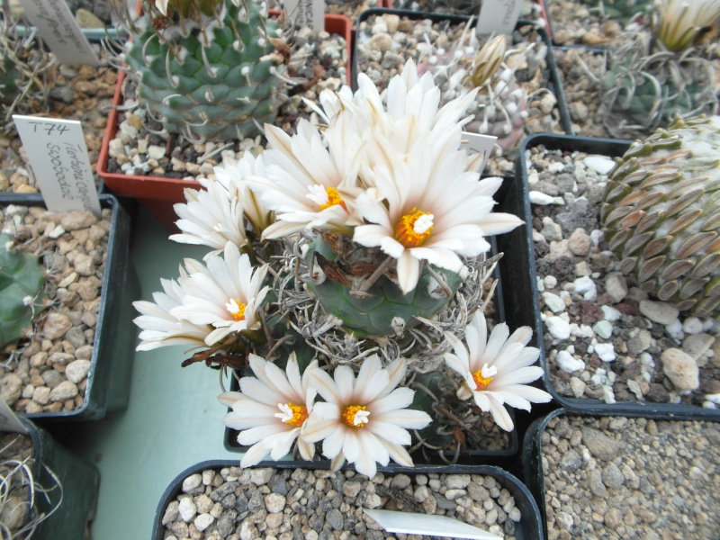 Cacti and Sukkulent in Köln, every day new flowers in the greenhouse Part 64 Bild_968
